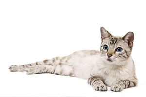 LA-7929 Cat - Bengal - Snow seal lynx spotted tabby in studio