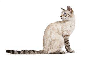 LA-7930 Cat - Bengal - Snow seal lynx spotted tabby in studio