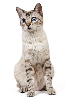 LA-7932 Cat - Bengal - Snow seal lynx spotted tabby in studio