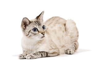 LA-7934 Cat - Bengal - Snow seal lynx spotted tabby in studio