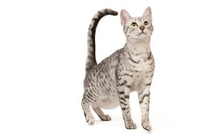 LA-7956 Cat - Egyptian Mau