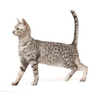 LA-7958 Cat - Egyptian Mau in studio