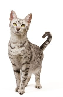 LA-7960 Cat - Egyptian Mau in studio