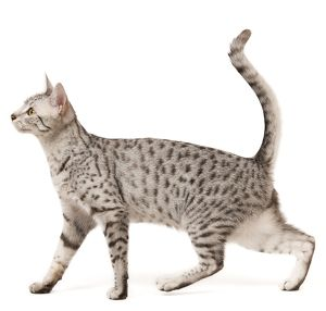 LA-7961 Cat - Egyptian Mau in studio