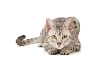 LA-7963 Cat - Egyptian Mau in studio