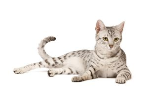 LA-7964 Cat - Egyptian Mau in studio