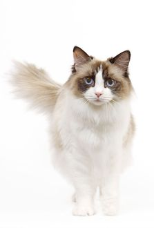 LA-7973 Cat - Ragdoll - Seal tortie point and white in studio