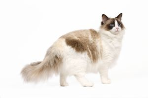 LA-7974 Cat - Ragdoll - Seal tortie point and white in studio