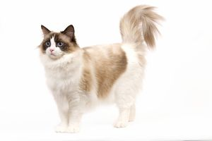 LA-7975 Cat - Ragdoll - Seal tortie point and white in studio