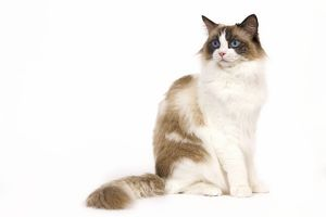 LA-7977 Cat - Ragdoll - Seal tortie point and white in studio