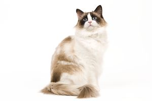 LA-7978 Cat - Ragdoll - Seal tortie point and white in studio