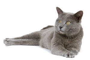 LA-7988 Cat - Chartreux in studio