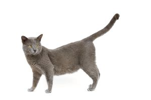 LA-7989 Cat - Chartreux in studio