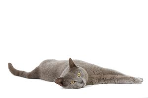 LA-7990 Cat - Chartreux in studio