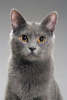 LA-8011 Cat - Chartreux in studio
