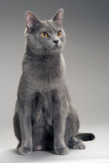 LA-8012 Cat - Chartreux in studio