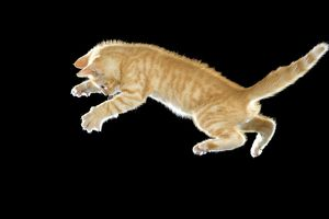 LA-8021 Cat - European ginger tabby shorthair falling