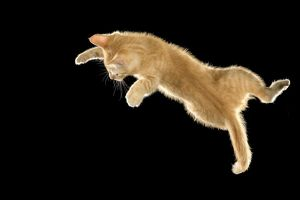 LA-8023 Cat - European ginger tabby shorthair falling