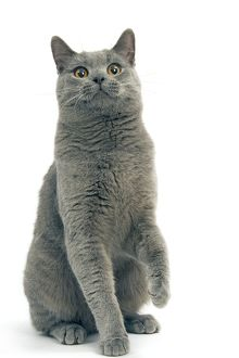 LA-8025 Cat - Chartreux in studio