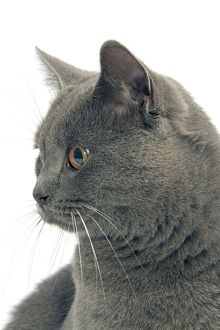 LA-8026 Cat - Chartreux in studio