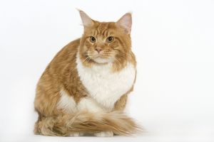 LA-8029 Cat - Norwegian Forest Cat - red tabby & white in studio