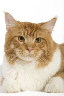 LA-8030 Cat - Norwegian Forest Cat - red mackerel tabby & white in studio