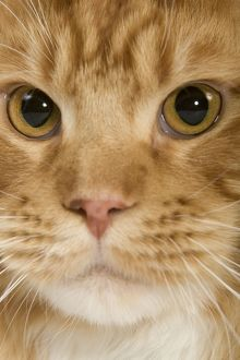 LA-8031 Cat - Norwegian Forest Cat - red mackerel tabby & white in studio
