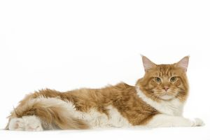 LA-8032 Cat - Norwegian Forest Cat - red mackerel tabby & white in studio