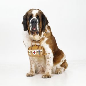 St. Bernard Dog - with barrel