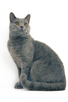 LA-8056 Cat - Chartreux in studio