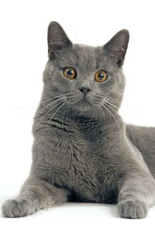 LA-8057 Cat - Chartreux in studio