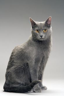 LA-8065 Cat - Chartreux in studio