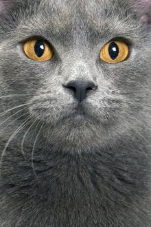 LA-8066 Cat - Chartreux in studio
