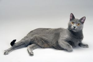 LA-8067 Cat - Chartreux in studio