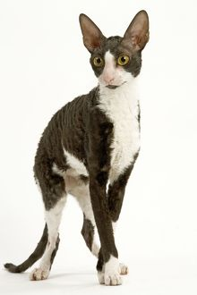 LA-8089 Cat - Cornish Rex - bicolour black & white in studio