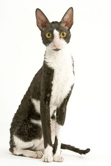 LA-8090 Cat - Cornish Rex - bicolour black & white in studio