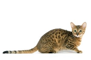 LA-8091 Cat - Bengal brown spotted tabby in studio