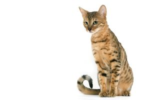 LA-8093 Cat - Bengal brown spotted tabby in studio