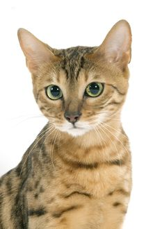 LA-8094 Cat - Bengal brown spotted tabby in studio