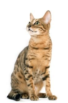 LA-8095 Cat - Bengal brown spotted tabby in studio