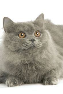 LA-8097 Cat - British longhair blue in studio