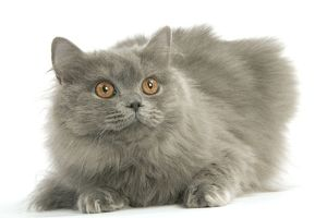 LA-8098 Cat - British longhair blue in studio