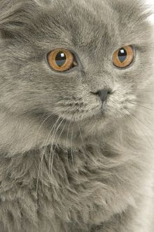 LA-8099 Cat - British longhair blue in studio