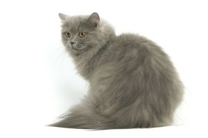LA-8100 Cat - British longhair blue in studio