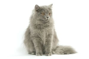LA-8101 Cat - British longhair blue in studio
