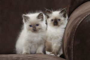 LA-8164 Cat - two Ragdoll kittens