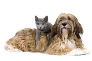 LA-8168 Dog & Cat - Lhasa Apso in studio with Chartreux kitten