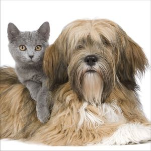 LA-8169 Dog & Cat - Lhasa Apso in studio with Chartreux kitten