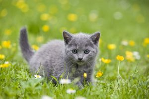 LA-8181 Cat - Chartreux kitten in grass