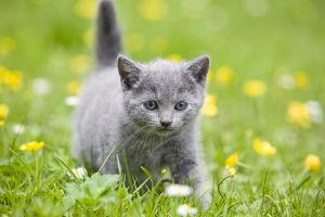 LA-8182 Cat - Chartreux kitten in grass